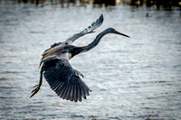 Tricolored Heron Slowing Down to  Land