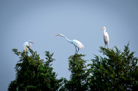 Great Egret Night Roost 2