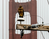 Golden Gate Bridge Hawk_5290