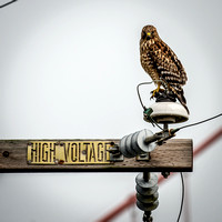 High Voltage Hawk Stare_5337