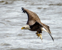 Nikon D800 Photography of Eagles