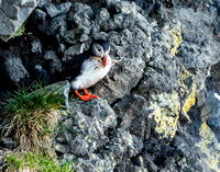 Puffin with Nesting Material_