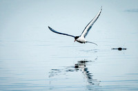 Artic Tern Fishing