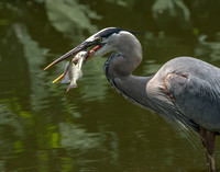 Great Blue Heron Meal-4394