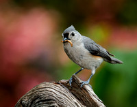 Tufted Titmouse_CDS7427