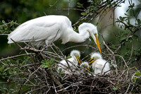 Great Egret Chicks_CDS3753