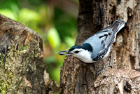 White_Breasted_Nuthatch__CDS7104