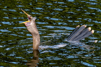 Anhinga Having Lunch-4311
