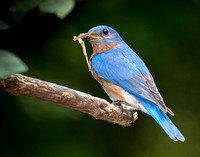 Eastern_Bluebird_CDS7538
