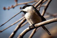 Carolina Chickadee_CDS1760