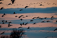 Tens of Thousands Arrive for Night Roost on thePlatte River_0178