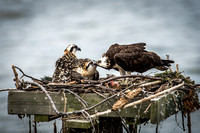 Mom Osprey Feeding Two Chicks
