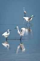 Flock of Snowy Egret_CDS9486