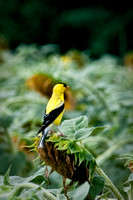 Adult Male Yellow Finch