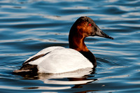 Canvasback Male_CDS9276