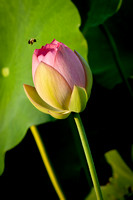 Bee_Visiting_a_Lotus Flower_CDS0833