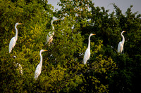 Great Egret Night Roost 1