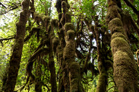 Hoh Rain Forest of Olympic National Park-2763
