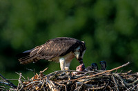 Osprey Feeding Fish to Three Chicks