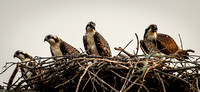 Mother Osprey with Three Mature Chicks 2