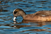 Male American Wigeon_CDS0037