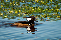 Hooded Merganser_CDS1928