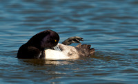 Male Lesser Scaup Preening_CDS0103