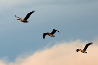 Three Pelicans in Flight