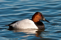 Canvasback Male_CDS9682