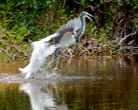 Snowy Egret attacking a Great Blue Heron 2_CDS9228