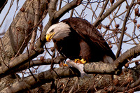 Eagles at Conowingo Hydroelectric Dam