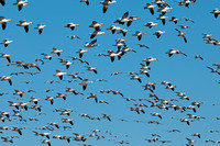 Thousands of Snow Geese_CDS2998