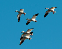 Snow Geese of Assateague Island