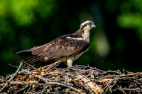 Osprey Guarding the Nest