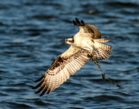 Osprey with Seaweed for Nest