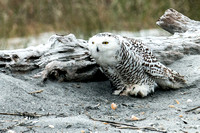 Snowy Owl of Jacksonville Florida 2013