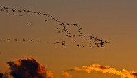 Snow Geese in the Morning Sky_CDS2083