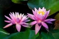Pink Water_ Lily
