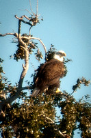Eagle in Tree_CDS0598