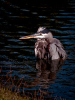 Great Blue Heron Bathing