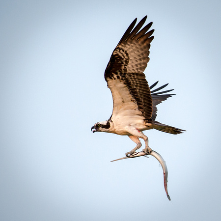 Osprey with Fish Returning to Nest