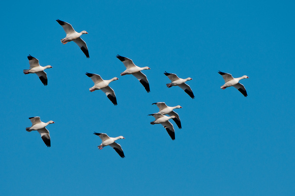 Snow Geese Formation_CDS2676