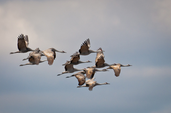 Sandhill Crane Family Group_4171