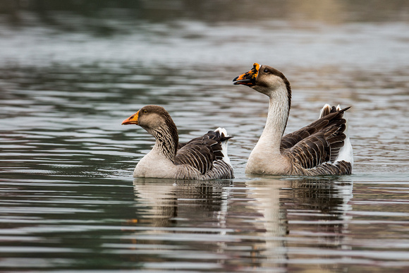 Female and Male Chinese Goose_CDS0936
