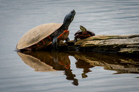 Painted Turtle Adult and Baby