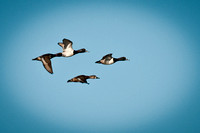 Duck Formation_CDS0392