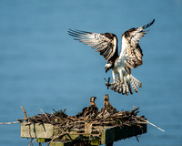 Mother Osprey Landing