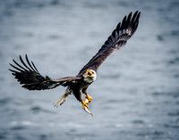 Outstanding Beautiful Nikon Eagle Photography