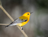 Prothonotary Warbler_CDS6958