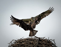 Midair, Ospreys Fighting